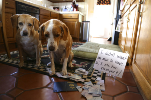 "dogshaming:  Passport Sabotage""I didn't want my mom to leave, so I ate her passport!"" Yesterday, I accepted an offer for a job…View Post"
