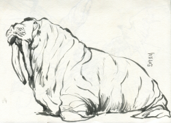 A big fat walrus, drawn at the Natural History Museum.