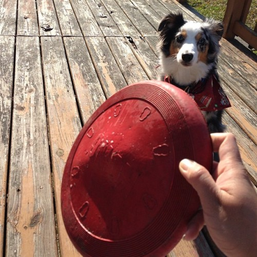 It's #frisbee #time. #riot #aussie #dog #playtime #outdoor #puppy #sunny #nice #weather #outside #funtime #mini #australian #shepherd