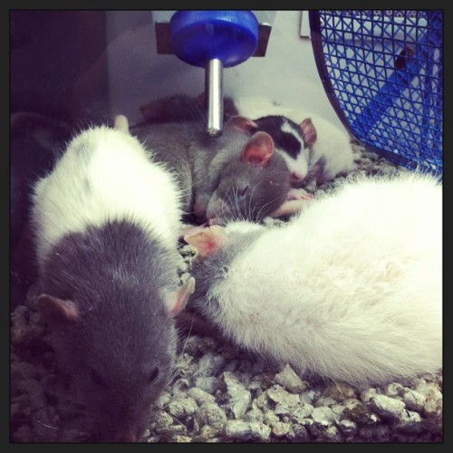 Dawwww wookit the cute wittle rats… (at Petco)