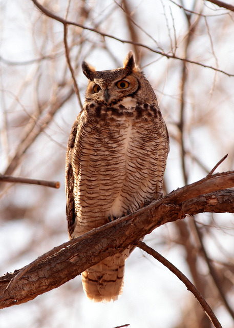 ayustar:  Great-horned Owl by S.H.Townsend on Flickr.