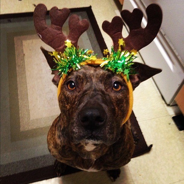 Leia is my foster pit/mastiff mix. All she wants for Christmas is a forever home!  givememydues submitted  Reblog, and or share Leia's story.  Let's find her a furrever home!