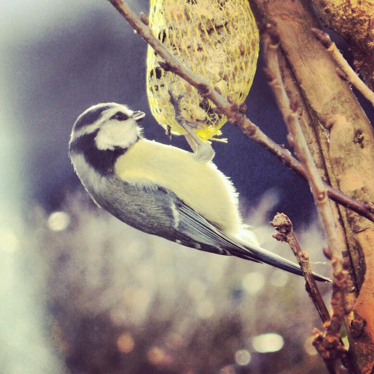 Another bluetit. xD