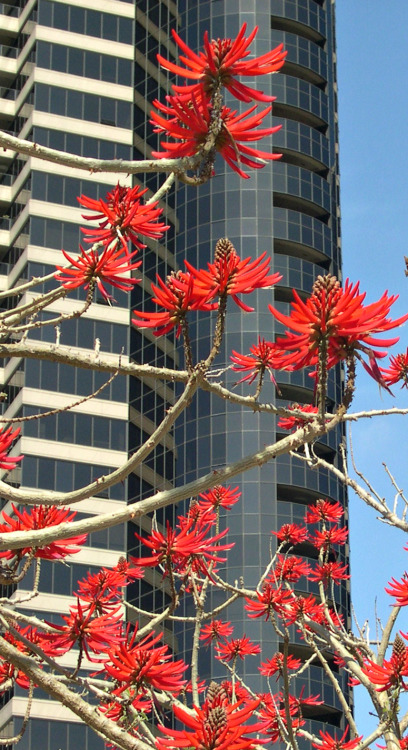 Flowering coral trees in downtown San Diego. Yes, we have seasons, and this is what Spring looks like.