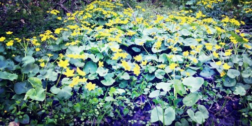 Marsh Marigold at Back Mountian Regional Recreation Complex by Aaron Glenn Campbell on EyeEm