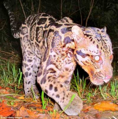 Sunda clouded leopard from Borneo New species -  http://www.dailymail.co.uk/news/article-1349789/Newest-big-cat-species-Sunda-Clouded-Leopard-actually-different-animals.html