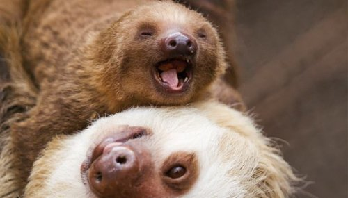 slothnation:  i would light myself on fire for a pet sloth