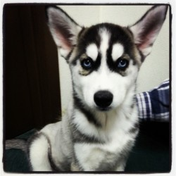 New dog Smokie #Husky #Dog #Puppy #Love #Beautiful #BlueEyes #Spring