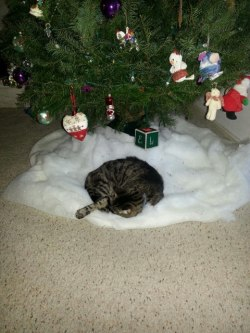 mermaid-tails:  my cats wait all year for the tree to be in the house so they can do this