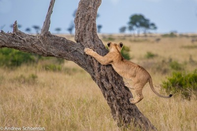 """The Lookout"" A Tree climbing Lion cub in the Masai Mara gets a better view of the Wildebeest in the distance"