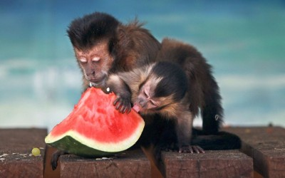 A 3-month-old black-capped capuchin monkey named Diago eats watermelon with its mum Bintu at the Hunter Valley Zoo, Nulkaba, Australia.Picture: Liam Driver/Newspix / Rex Features