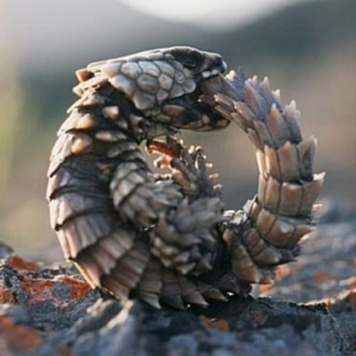 breathemystardust:   Biologists would have you call this thing an Armadillo-Girdled Lizard, Cordylus cataphractus, but I won't be fooled. This is clearly a baby dragon. They also have this adorable habit of biting their own tails for no discernible reason. Which is adorable until you remember what the ouroboros is, and inevitably conclude that these things are also dark magic. Magical dragons. It all makes sense.   i must remember to look this creature up!