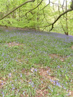 Bluebells and Beech trees, St Lawrence's Wood, Mancetter, Leicestershire All Original Photography by http://vwcampervan-aldridge.tumblr.com