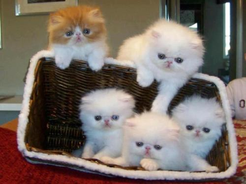 thefrogman:  2008 basket of kittens, Chinookwinds Persians [website]