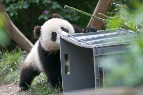 giantpandaphotos:  Xiao Liwu at the San Diego Zoo, California, on May 17, 2013. © Rita Petita.
