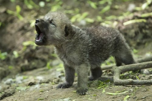 Pictured is an Arctic Wolf Cub performing the most adorable howl.