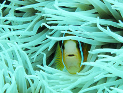 An Ocellaris clownfish (Amphiprion ocellaris) nestled in a sea anemone in the waters of Pasir Putih Beach in Probolinggo, Indonesia Photograph: Robertus Pudyanto/Barcroft Media