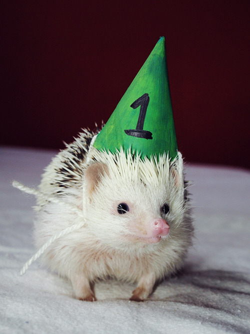 Happy birthday Loki! (via lokithehedgehog)
