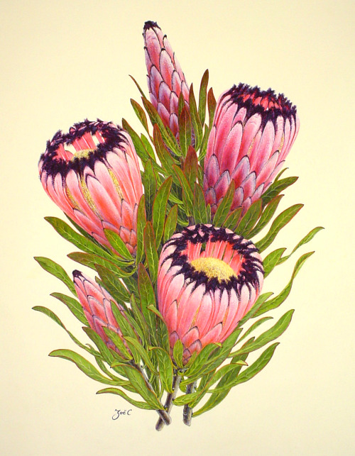 scientificillustration:  Protea nerufolia by Zoë Carter From the exhibition: The Grover E. and Sally M. Murray Protea Paintings Collection The floral watercolor paintings of New Zealand artist, Zoë Carter. Thanks for the submission eatpizzanotdrugs