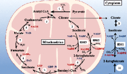 Isocitrate dehydrogenases in physiology and cancer: biochemical and molecular insight http://www.nanoappsmedical.com/isocitrate-dehydrogenases-in-physiology-and-cancer-biochemical-and-molecular-insight/