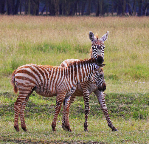 "funkysafari:    These two zebras in Lake Nakuru National Park, Kenya are no more than 3 months old. That's when the stripes starts turning black. The one in front is clearly younger than the other. There were no other zebras to be seen in the area, so the foals might be orphans. by jensvins    Me: ""Hey look! It's so pretty…"" Nature: ""Ima let you finish, but you should know something brutal is really going on here."" Me: ""oh"""