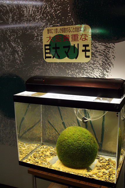 cherub69:  honeyfungus:  hok148marimo by invisiblecompany on Flickr.  たまちょうのまりも…