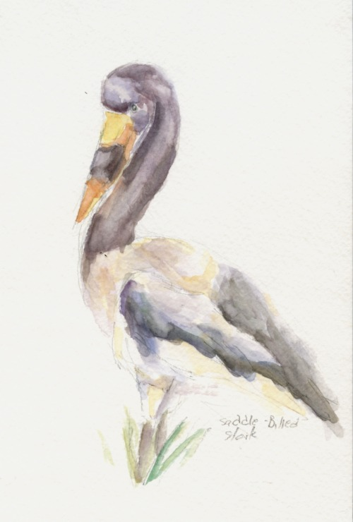 I feel bad about not posting anything, so here's a watercolor Saddle-Billed Stork. Their beaks are awesome. Went to the Baltimore Zoo today, and these guys were staying very still. Also, there was a convenient ledge at a decent height that I was able to utilize to make a more fully rendered sketch. Watercolor-15ish minutes.