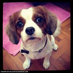 Meet Mambo, 3/4 Cavalier King Charles, 1/4 Chihuahua. Mambo is 3 years old now, but is still as playful as ever. He lives in Singapore and is super friendly. I swear that dog will go home with anyone who cuddles him. He's such a loving dog, who loves everyone who comes to our house. He does get jealous easily though. He'll bark at you if you come into the house and not pet or acknowledge his presence. Attention seeking much? But who can resist that cute face?! kershia profile on aplacetolovedogs To get your own profile page on aplacetolovedogs click here