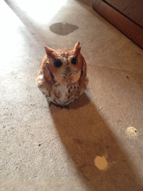 agelfeygelach:  armouredswampert:  agelfeygelach:  little-yogi:  It's a cute little thing though.  Sometimes it is hard to remember that owls are incredibly dangerous predators seen by cultures throughout  the world as ill omens. Especially when they look like toasted marshmallows.  My boss once described them as flying pillows filled with seething hatred.  Further confirming that owls are the avian equivalent of cats.