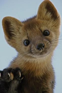 The Cutest Lil Stoat!