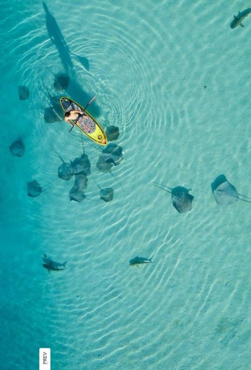 earth-song:  puretahiti:  PHOTO OF THE WEEK: SUP IN MOOREA  dreaming of paddle boarding, sharks and rays? …Moorea is your answer