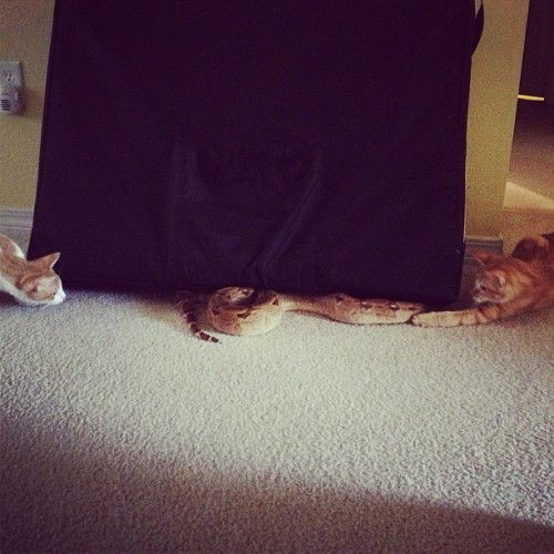 Two cats, one snake. And the snake didn't care. Wtf.