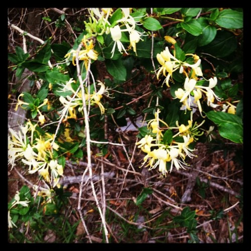 The reason the air smells sweet in my 'hood… Honeysuckle. #nature #walks