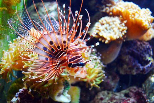 oceanographic:  Lion Fish 1 (by Tony Sharma Photography)