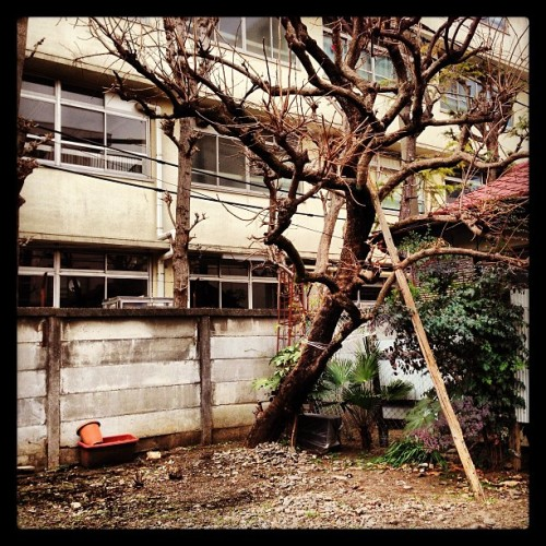 Cool old tree in an empty lot.   #japan #tokyo #日本 #東京 #赤羽