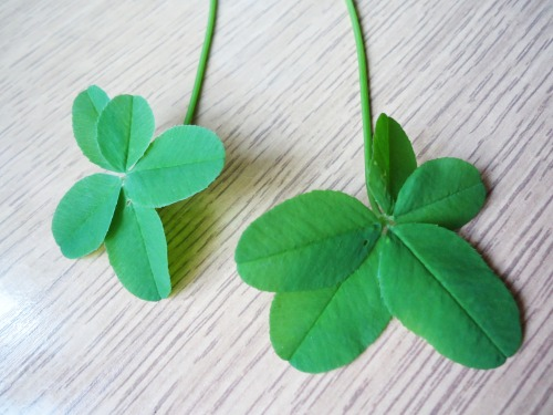 kittodaijoubu:  I'm wondering why five leaf clovers are less mentioned than four leaf ones… I mean, they're rarer so they should be more wanted and more… lucky? ^   ^  Clovers with five leaves are a symbol of wealth, not luck. Somebody once told me that they were used in necromancy, however I have yet to find any other accounts that state something similar.