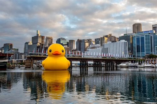 inothernews:  OUTQUACK  Artist Florentjin Hofman's oversized rubber duck installation is seen in Darling Harbour, Australia on Wednesday. The work measures 15 meters high and 18 meters wide and was commissioned especially for this year's Sydney Festival. (Photo: Damian Shaw / EPA via NBC News)