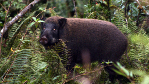 Feral pigs going hog-wild in U.S. Feral pigs were introduced to North America in the 1500s by Spanish explorers and were used for hunting but have become ecological threats.