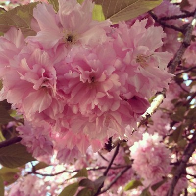 🌸 Hello gorgeous 🌸 #cherryblossoms @bklynbotanic (at Cherry Esplanade)