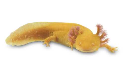 How salamanders regenerate parts Immune cells called macrophages are at the center of the salamander's ability to regrow limbs and regenerate parts of organs.