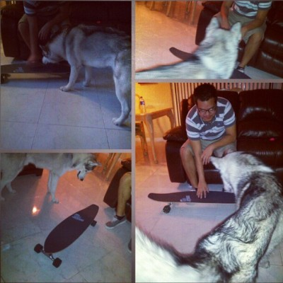 #kiba figuring out the long board. #board #husky #siberianhusky #dog #dag #couldistraphimin #badidea