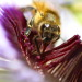 steepravine:    Up close and personal with a bee polinating a passion flower   Took my macro lens to my favorite passion fruit vine at halftime today!   (San Francisco, California - 1/2013)