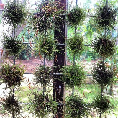 Rethinking the 'green roof' as living mesh with Texas native Tillandsia recurvata on wire