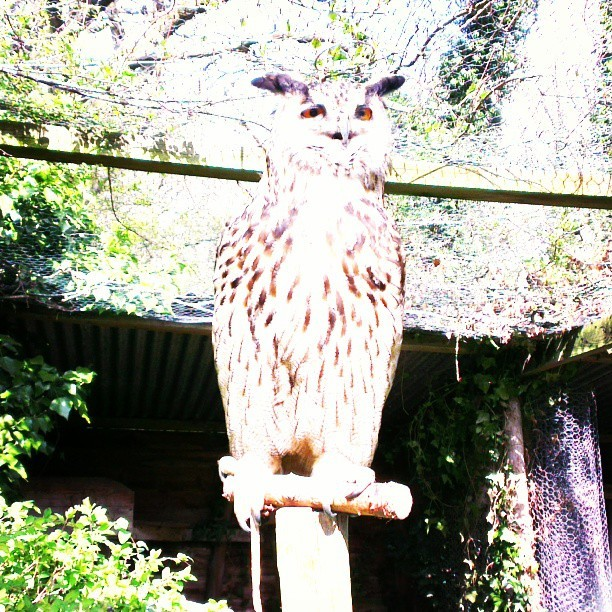 Eagle Owl! Imagine having one of these to carry your messages á la Harry Potter… Magnificent creature! #birds , #birdsofprey, #owls, #animals, #harrypotter