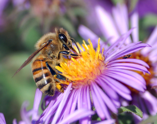 "8bitfuture:  Caffeine shown to increase memory in bees. A new study has revealed that some plants, like the coffee plant Coffea, use caffeine to enhance long-term memory in honey bees. The nectar in their flowers contains low levels of caffeine which the bees also find rewarding, increasing the chances the bees will visit again. While caffeine is thought to have primarily developed as a toxin to repel herbivores such as slugs, it seems it also gives the bees a real buzz.  ""We show that caffeine—a compound whose ecological role is mainly to deter and poison herbivores—actually acts like a drug in an ecologically relevant context,"" Wright said. ""The plant is secretly drugging the pollinator. It may help the bee, but the plant cares more about having a pollinator with high fidelity!"" The effects of caffeine on learning and memory in people is not as clear. ""But I think there is overwhelming evidence that we return again and again to consume caffeine because of the way we feel after drinking it,"" Wright said."
