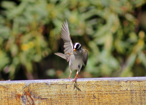 """Gambel's"" White-crowned Sparrow snapping at a bee H.J Andrews Forest, OR"