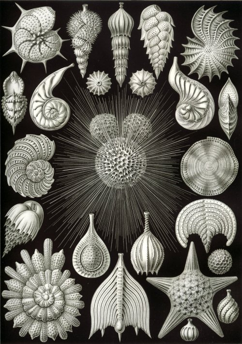 geometrymatters:  Thalamphora (1904) - amazing illustration from biologist Ernst Haeckel