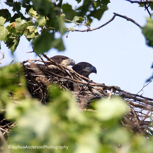 joshuaandersonphotography:  Another pair of young bald eagles, Ross County Ohio.  #baldeagle #baldeaglenest #eaglet #eagle #immature #nest #wild #wildlife #animal #bird #nature #ohio