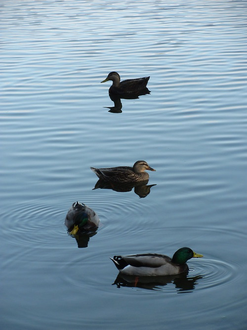Mallards from the reservoir near my house