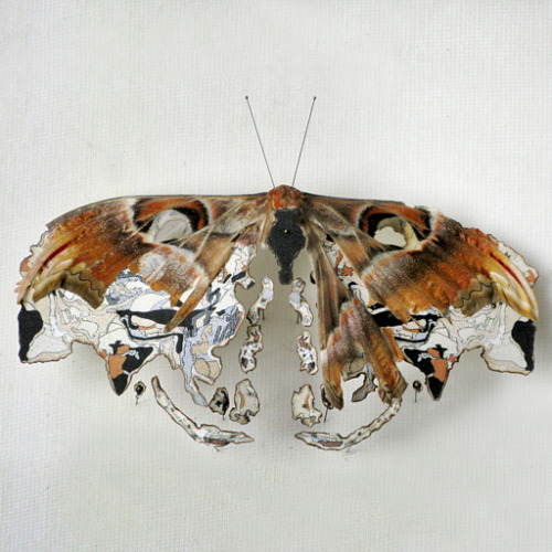 "the-absolute-best-posts:  showslow:  Anne Ten Donkelaar, Broken butterflies repaired with new wings and bodies (2011) Map Butterfly. The original name of this butterfly is ""Atlas moth"" and lives in Asia. She used the maps of Asia to repair its wings. Previously (x)   Via/Follow The Absolute Greatest Posts…ever."